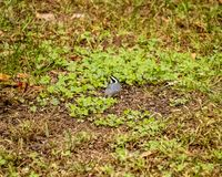 Black capped chickadee on ground in Northwoods of Wisconsin. Black capped chickadee looking around the ground in the Northwoods of Wisconsin during autumn stock image