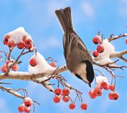 Black- capped Chickadee on Hawthorn Branch Stock Photos