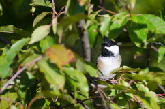 Black-Capped Chickadee Hiding in a Tree Stock Image