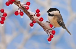 Black- capped Chickadee On Icy Berries. A winter Black- capped Chickadee (Poecile atricapillus) on an icy branch full of bright red berries with blue sky in the stock photography