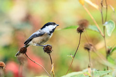 Black Capped Chickadee. This image of a Black Capped Chickadee was captured in the autumn in Illinois stock photography