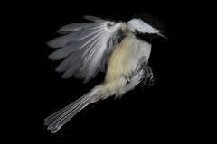 Black-capped Chickadee, Isolated and Frozen Mid-Flight royalty free stock images