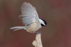 Black-capped Chickadee. Landing on a dead branch royalty free stock images