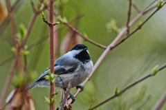 Black-capped Chickadee in a Maple Tree Royalty Free Stock Image