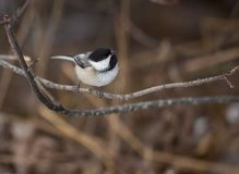 Black-capped Chickadee in Massachusetts. An adorable adult Black-capped Chickadee perches on a small branch on a cold New England winter morning royalty free stock image