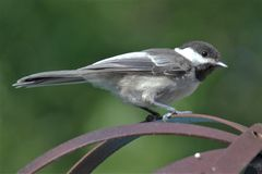 Black capped chickadee on metal stand royalty free stock images