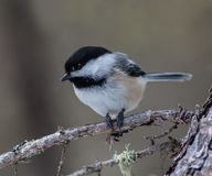 Black capped chickadee in Muskoka Ontario. Friendly little black capped chickadee at a field in Bracebridge ontario. Can be found in the area all year and are stock photography