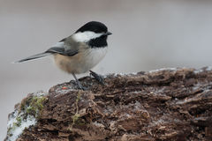 Black Capped Chickadee on a Natural Perch. Black Capped Chickadee on a Natural Wood Perch Stock Image