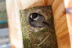 Black-capped chickadee. Black capped chickadee and nest, close up royalty free stock photography