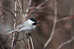 Black capped chickadee nestled on a branch. Backround of out of focus bush, trees and branches. soft browns and reds of the forest stock images