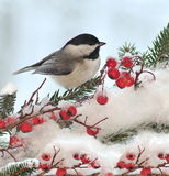 Black- Capped Chickadee On Festive Spruce