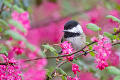 Black Capped Chickadee. On one of the first days of Spring surrounded by beautiful flowers Royalty Free Stock Photography