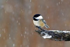 Black-Capped Chickadee (Parus atricapillus). A Black-capped Chickadee perches near a feeder station on a snowy day Royalty Free Stock Photography