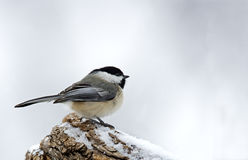 Black-capped Chickadee (Parus atricapillus). Black capped chickadee perched a snowy tree branch Royalty Free Stock Photos