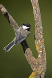 Black-Capped Chickadee (Parus atricapillus). Black Capped Chickadee perches on a branch near a feeder station Royalty Free Stock Image
