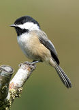 Black Capped Chickadee - Parus atricapillus Royalty Free Stock Images