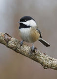Black Capped Chickadee - Parus atricapillus royalty free stock photography
