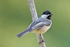 Black Capped Chickadee on a Perch Royalty Free Stock Photography