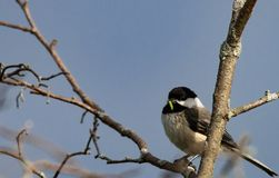 Chickadee with a worm in his beak. Black capped Chickadee  on a perch in a tree at sunrise with a worm Stock Images