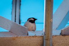 Black capped chickadee perched on a beam in a greenhouse royalty free stock photos