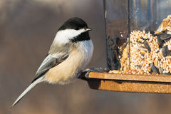 Black-capped Chickadee Royalty Free Stock Image