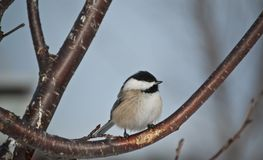Black-capped Chickadee Perched on a Branch Royalty Free Stock Photo