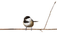 Black capped chickadee perched on a branch. Black capped chickadee sits on a branch; white background royalty free stock photo