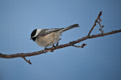Black-capped Chickadee perched on a branch Stock Photo