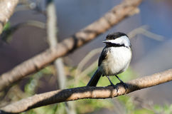 Black-Capped Chickadee Perched on a Branch Royalty Free Stock Photography