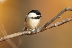 Black-capped Chickadee Perched on a Branch Stock Image
