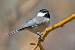 Carolina Chickadee royalty free stock photos