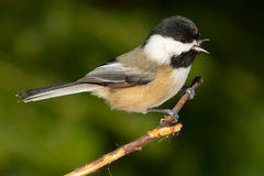 Black-capped Chickadee. Perched on a branch stock images