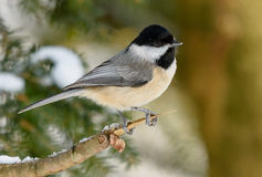Black capped Chickadee Royalty Free Stock Photography