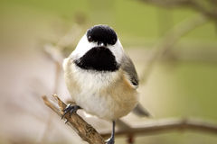 Black Capped Chickadee Perched on branch Royalty Free Stock Photos