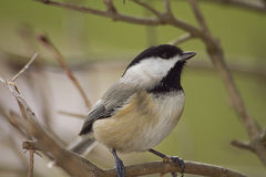 Black Capped Chickadee Perched on branch Stock Photography