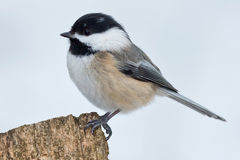 Black-capped Chickadee. Perched on a fence post stock images