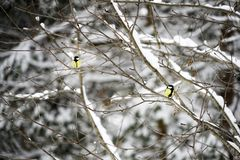 Black-Capped Chickadee Perched on Pie Tree Branch with Cones in Winter royalty free stock images