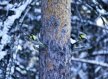 Black-Capped Chickadee Perched on Pie Tree Branch with Cones in Winter stock photography