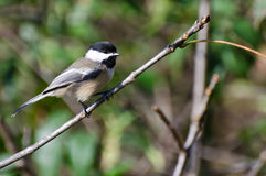 Black-Capped Chickadee Perched in a Tree Stock Photography