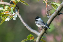Black-capped Chickadee. Perched in a tree stock images