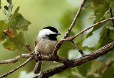 Black-capped Chickadee Perched on Tree Branch. A beautiful little black-capped chickadee is perched on a tree branch, surrounded by green leaves on a blurred stock images