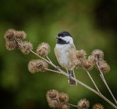 Black-Capped Chickadee. A chickadee perches among burrs to feed on seeds stock photos