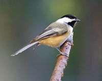 A Black-Capped Chickadee Perching on a Branch. A black-capped chickadee (Poecile atricapillus) perching on a branch Stock Image