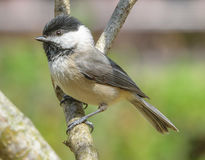 Black capped chickadee perching Royalty Free Stock Photo