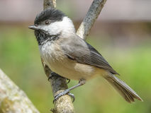 Black capped chickadee perching Stock Image