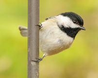 Black capped chickadee perching Royalty Free Stock Photography