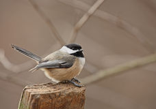 Black-capped Chickadee (Poecile atricapilla) Stock Photography