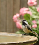 Black-capped Chickadee, Poecile atricapilla Royalty Free Stock Photos