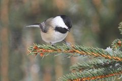 Black-capped Chickadee (poecile atricapilla) Stock Images