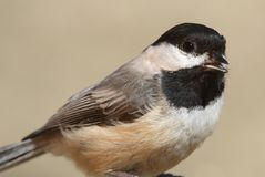 Black-capped Chickadee (poecile atricapilla) Royalty Free Stock Photo